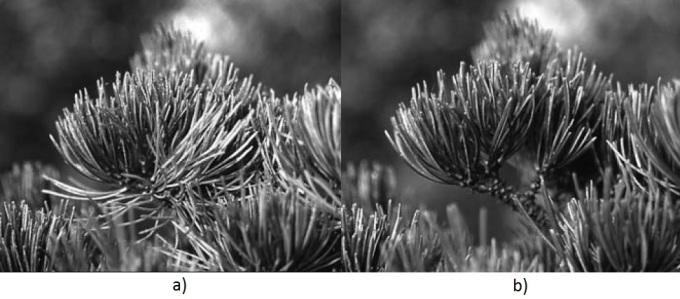 Pinus-Parviflora-Agujas